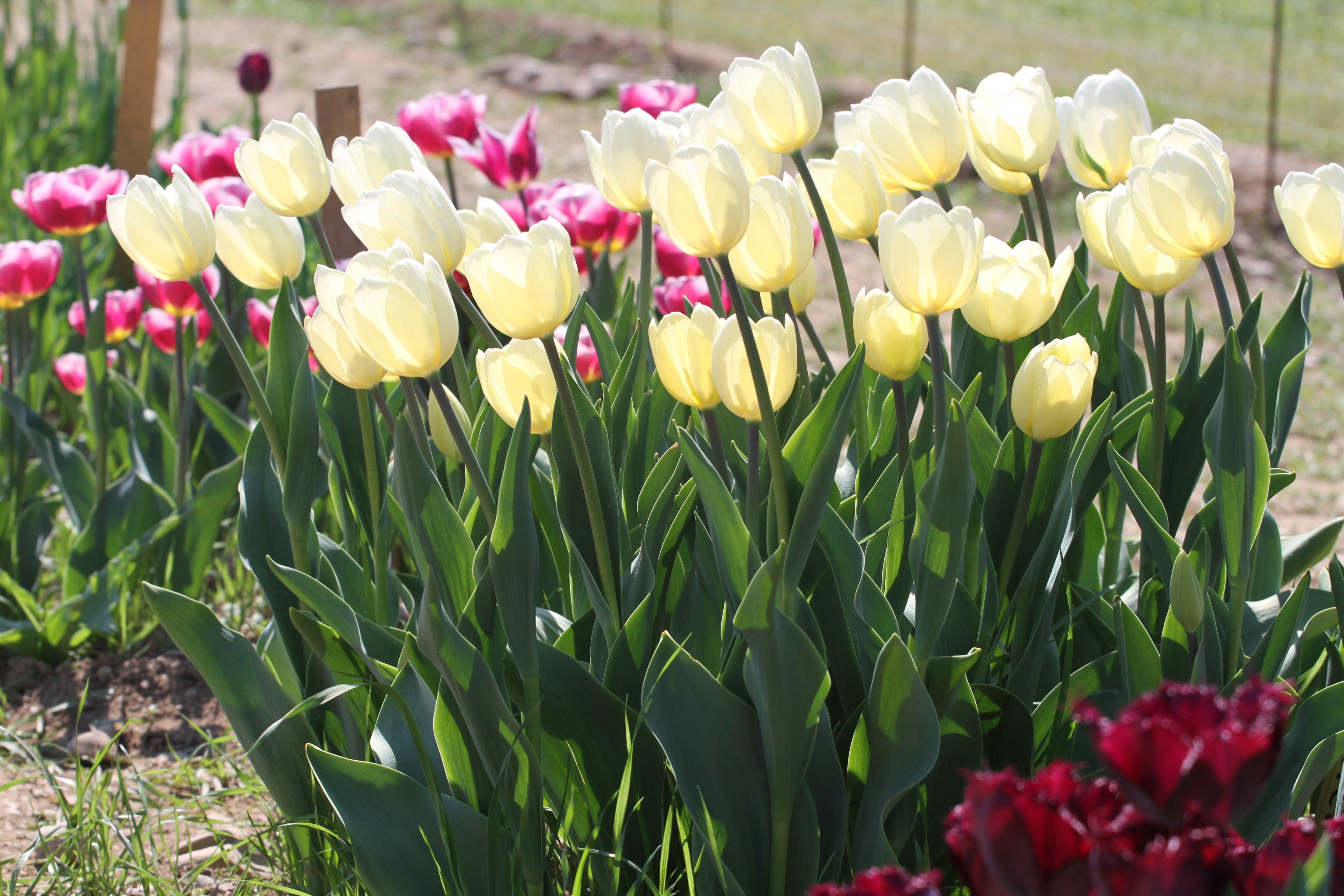 Tulipani italiani un 39 oasi alla periferia di milano for Tulipani italiani