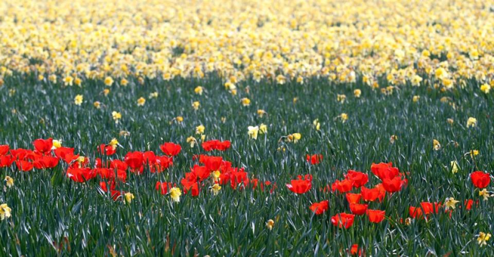 olanda-campi-fiori