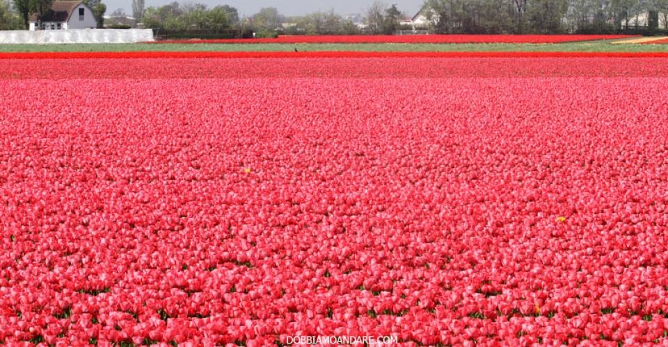 olanda-campi-tulipani-rosa