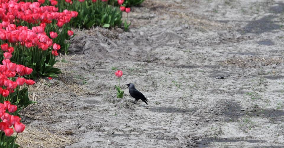 olanda-campo-tulipani-corvo