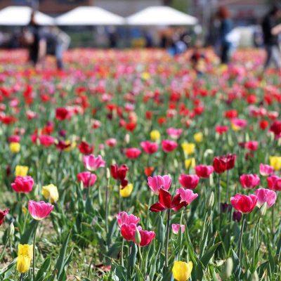 Tulipani Italiani: un'oasi alla periferia di Milano